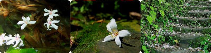 茅埔路油桐花