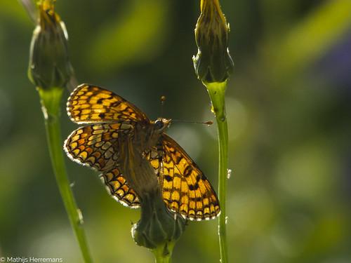 De spaanse parelmoervlinder (Meliteae deione)