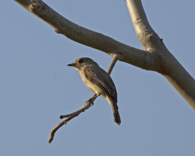 Header of African Dusky Flycatcher