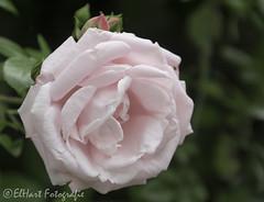 Roos uit eigen tuin