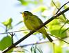 Paruline à calotte noire ♂ / Wilson's Warbler