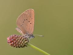 Donker pimpernelblauwtje