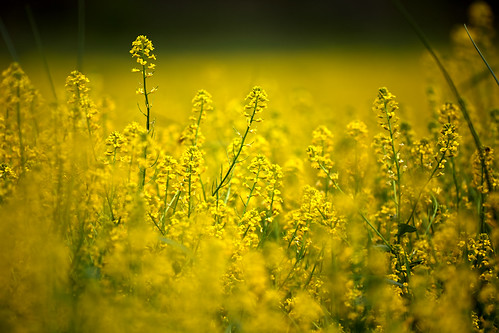 yellow flower flowers carpet summer aleadam alejandroadam 7dwf