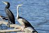 Darter & Great Cormorant