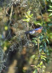 Eastern Bluebird - Artsy Use of Topaz Lab's Glow