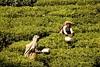 Tea pickers in Munnar