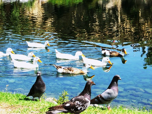 Patos y palomas