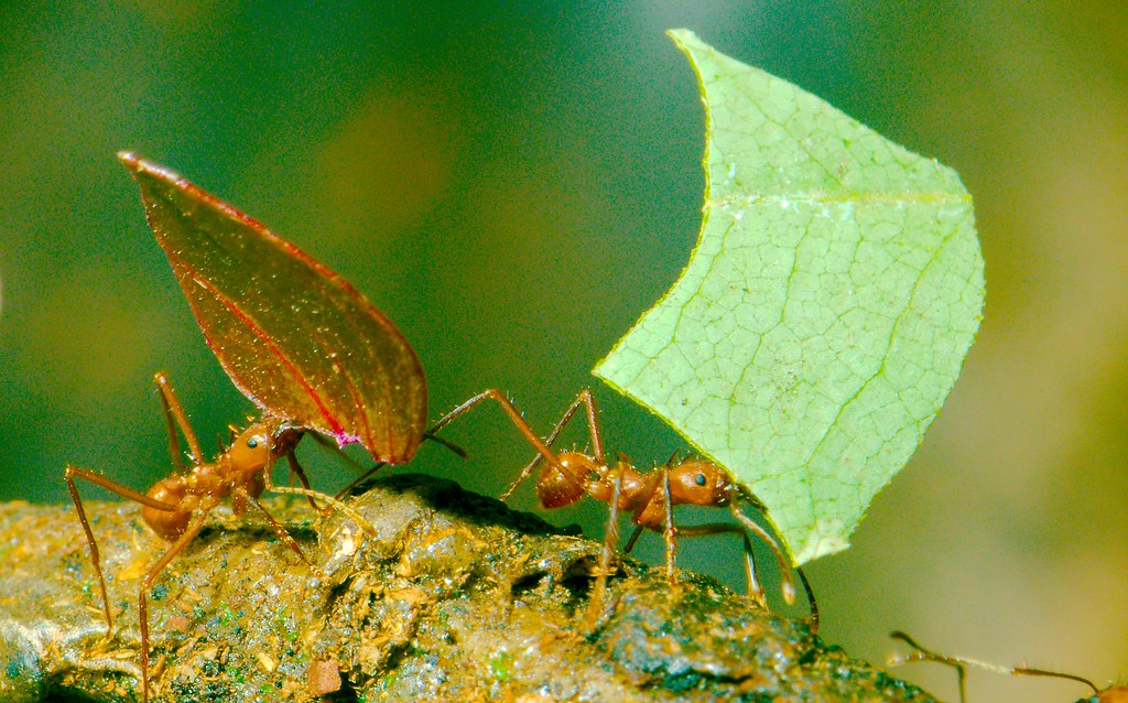 Leaf Cutter Ant_5