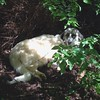 """Ari, hanging out in one of her many """"dirt holes"""". Vet says she's a Great Pyrenees/Anatolian Shepherd mix, about one and a half years old, and very healthy (though she did contract a treatable tick-borne disease while in the woods). Ari officially makes us"""