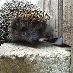 animal, porcupine, domesticated hedgehog, erinaceidae, fauna,