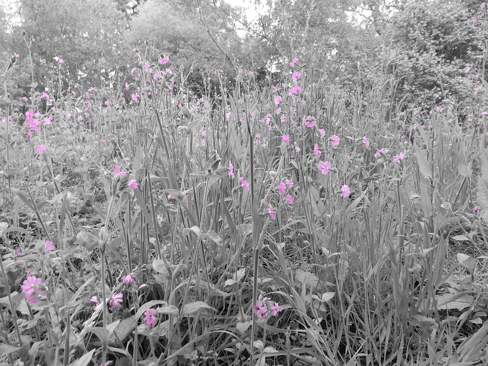 Red Campion Milford to Godalming