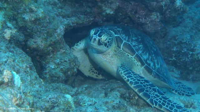 爆睡中のアオウミガメが3匹もいてくれました!