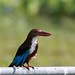 white throated Kingfisher. Captured at putrajaya wetland. by Tokki,an idiot w/cameras & birds. 2,283,781 views