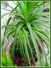 Our potted Nolina recurvata (Ponytail, Bottle Palm, Elephant's Foot) with several overgrown babies at the crown, May 15 2015