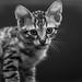 I am just a kitten by Eddie Vanderloot & Friends