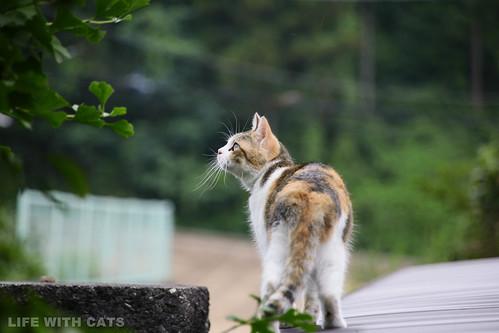 IMG_9084 Calico Japanese cat 縞三毛猫