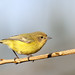 Small photo of Yellow Thornbill (Acanthiza nana)