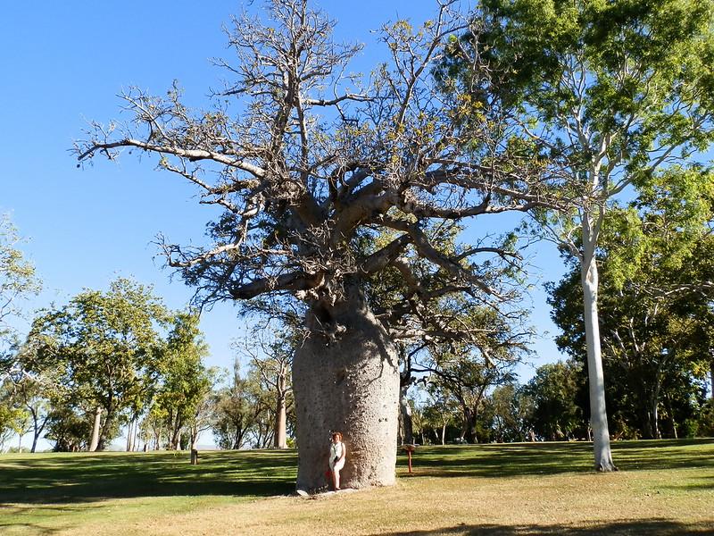 Boab Tree, Celebrity Tree Park, Kununurra