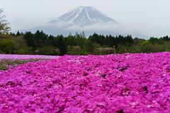 Mt. Fuji 芝桜
