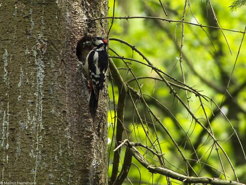 Grote bonte specht, Mannetje, met voedsel bij zijn nest