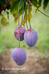 SOUTH AFRICA- Mango growing on tree.