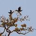 Indian hornbills by Arvind Manjunath
