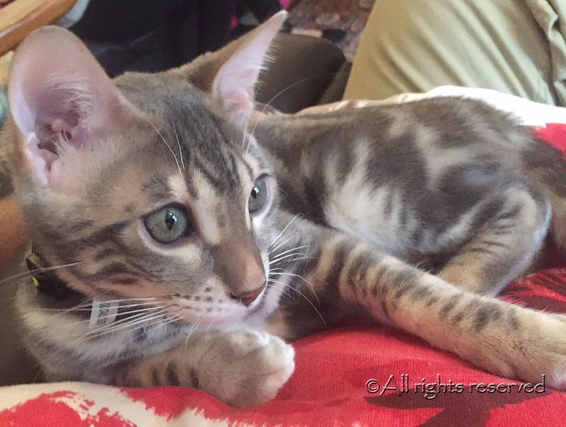 Blue marble Bengal kitten