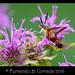 Clearwing Hummingbird (00418) by fbc57