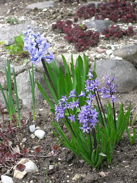 Hyacinthus orientalis 'Anastasia' & 'General Köhler'