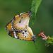 Plain Tiger - mating by Nikita Hengbok