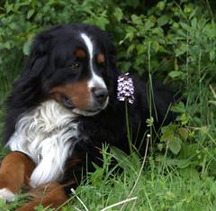 appenzeller sennenhund(0.0), dog breed(1.0), animal(1.0), dog(1.0), pet(1.0), greater swiss mountain dog(1.0), entlebucher mountain dog(1.0), bernese mountain dog(1.0), carnivoran(1.0),