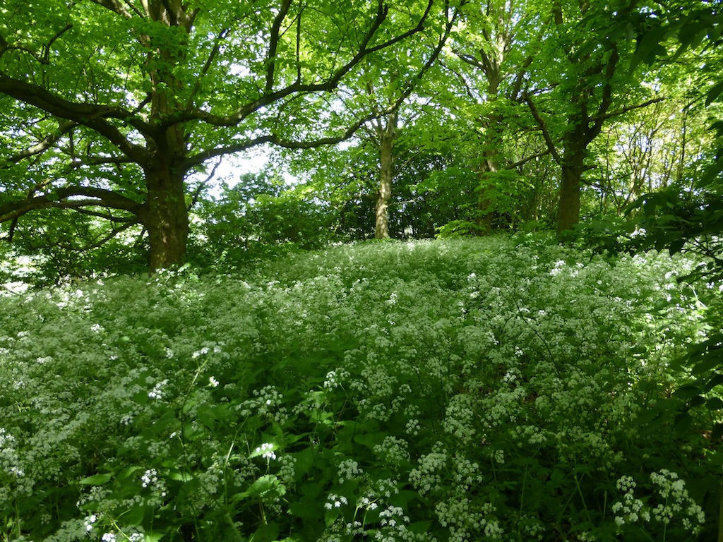 Cow parsley wood Haddenham to Aylesbury via Waddesdon walk