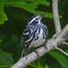 Black-and-white Warbler (Mniotilta varia) - Worthington State Forest, NJ