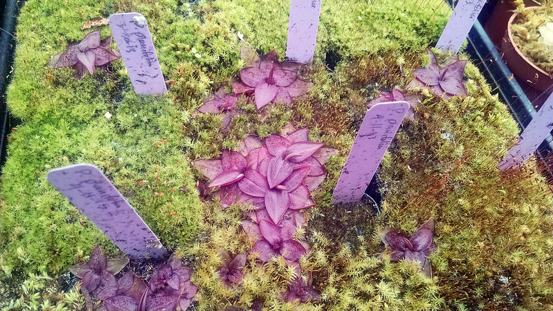 Pinguicula planifolia at Predatory Plants.