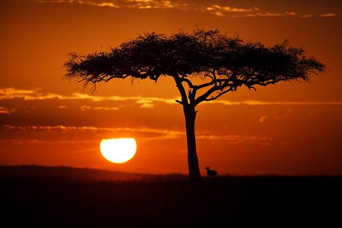 acacia acaciatree africa afrika animal antelope gamedrive kenya landscape maasaimara maranorthconservancy safari silhouette sunrise topi tree narokcounty riftvalley eastafrica mariostree republicofkenya fh ig