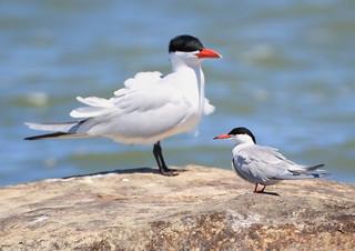 Caspian Tern (Hydroprogne caspia) CATE and Forster's Tern (Sterna forsteri) FOTE
