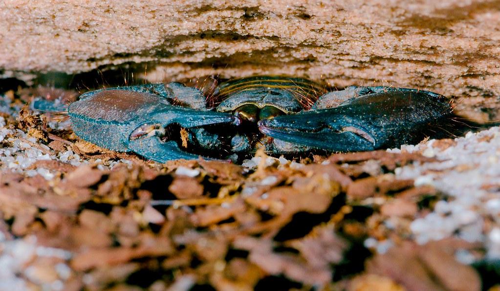 African Flat Rock Scorpion