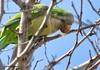 Monk Parakeet Cutting Branch