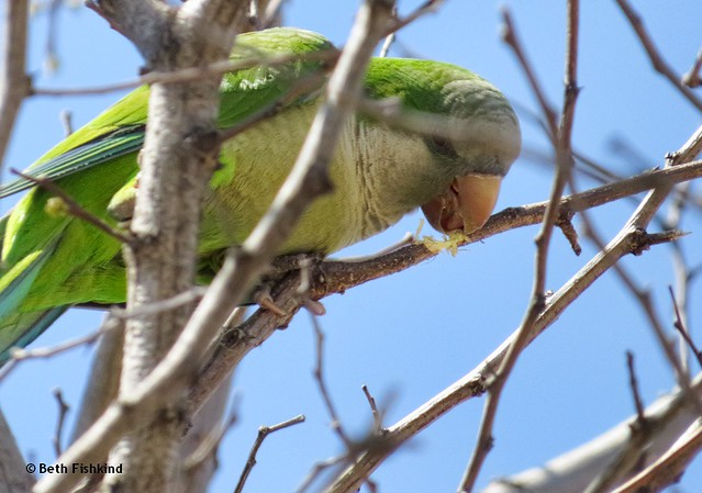 Monk Parakeet Cutting Branch