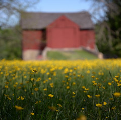 Buttercups and Barn