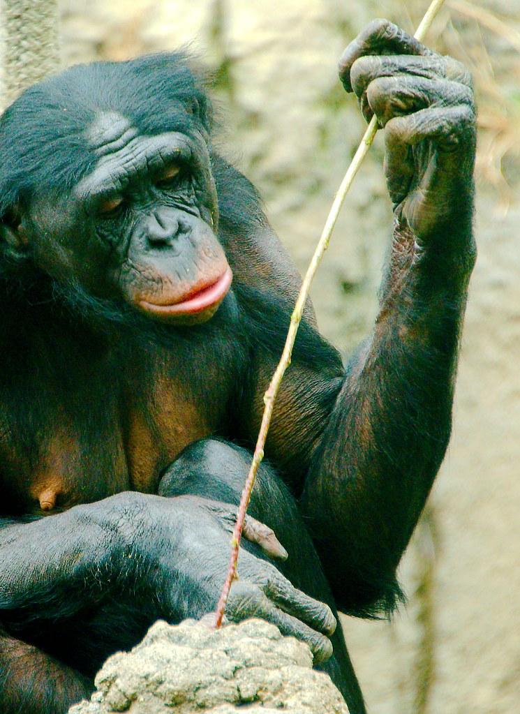 Bonobo (Pan paniscus)_13