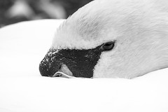 Swan // 27 05 15