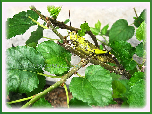Grasshopper resting on Mulberry shrub