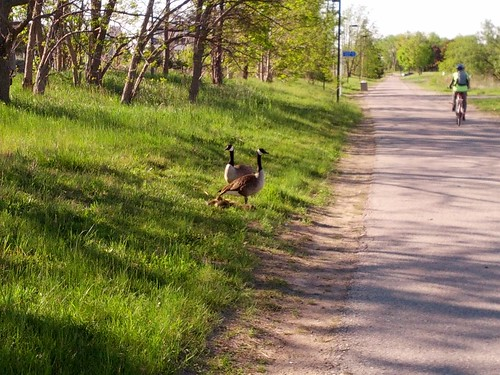 Goslings by a Path