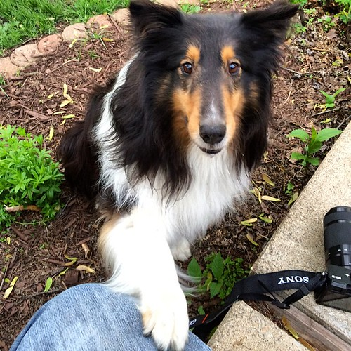 Did you want my other left? #Jasper #sheltie