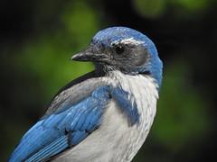 animal(1.0), wing(1.0), nature(1.0), fauna(1.0), close-up(1.0), bluebird(1.0), blue(1.0), blue jay(1.0), emberizidae(1.0), beak(1.0), bird(1.0), wildlife(1.0),