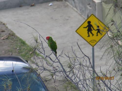 Red-Masked Parakeet (Aratinga erythrogenys)