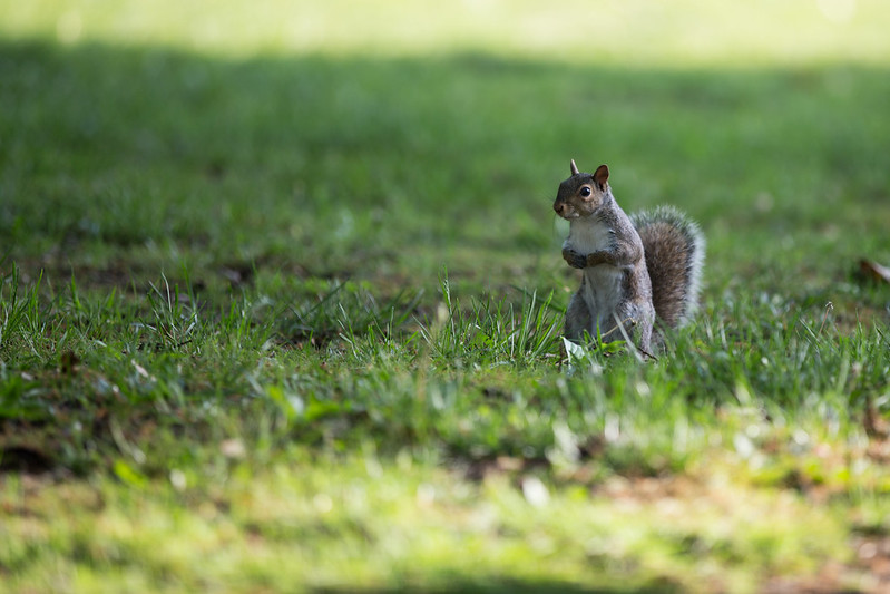 VCU wildlife - squirrel