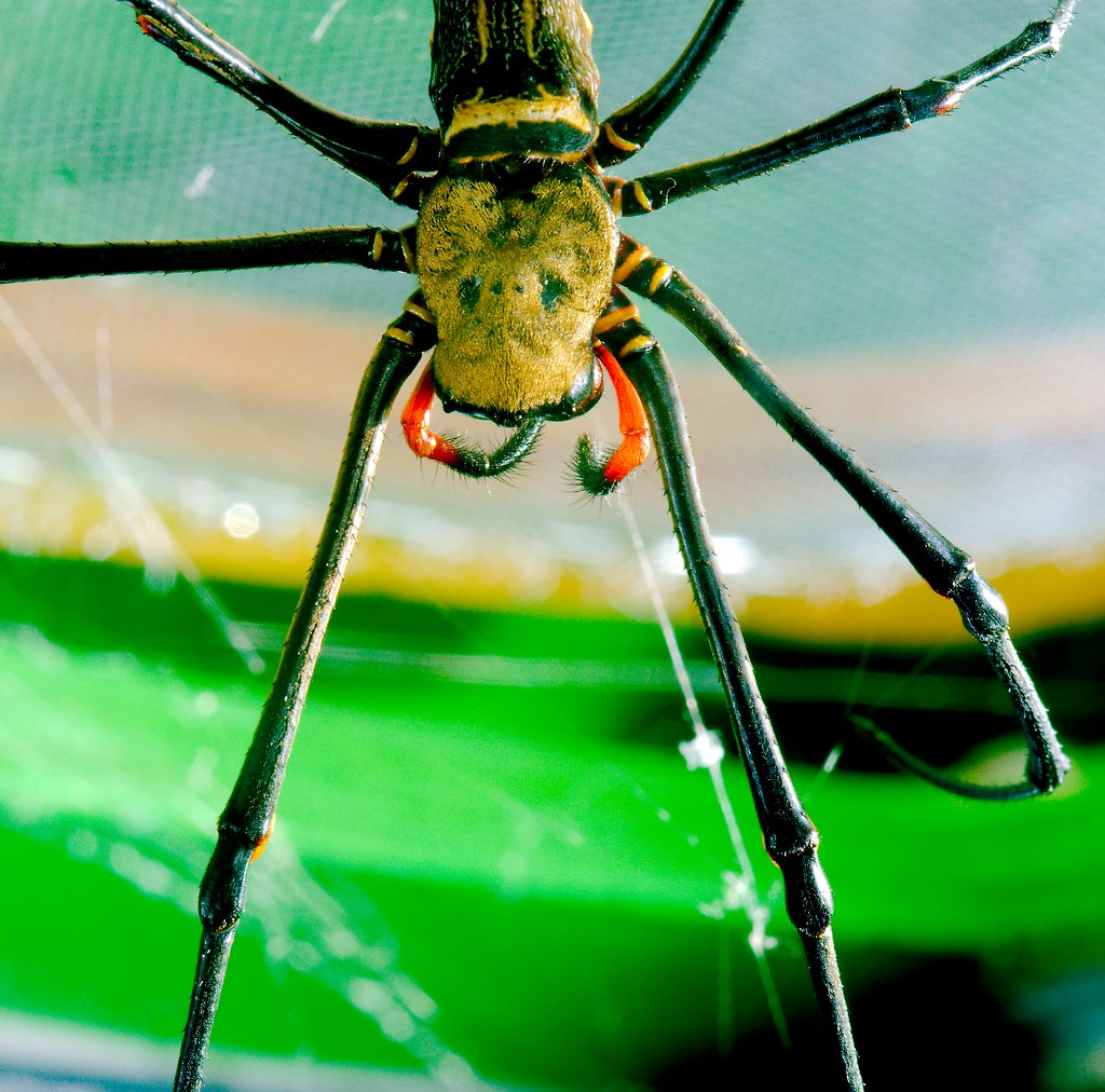 Giant Golden Orb Weaver (nephila pilipes)_1