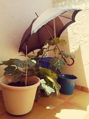 Hojas de calabaza protegiendose del sol!!!